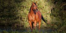 في البحرين تنافس جماليّ للخيول العربية الأصيلة